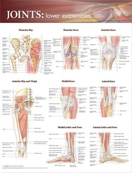 Abbildung von Joints of the Lower Extremities Anatomical Chart | 2009