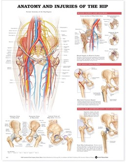 Abbildung von Anatomy and Injuries of the Hip Anatomical Chart | 2003