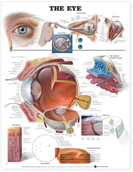 Abbildung von The Eye Anatomical Chart   2000