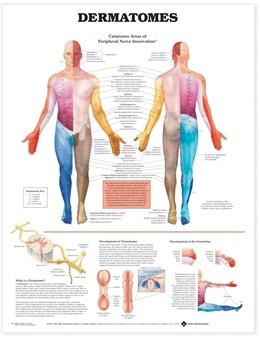Abbildung von Dermatomes Anatomical Chart   2004