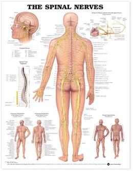 Abbildung von The Spinal Nerves Anatomical Chart | 2002