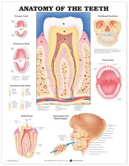 Abbildung von Anatomy of the Teeth Anatomical Chart | 2000
