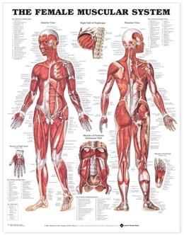 Abbildung von The Female Muscular System Anatomical Chart | 2003
