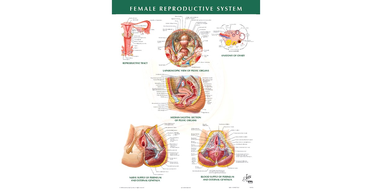 Female Reproductive System Chart 2004 Beck Shop